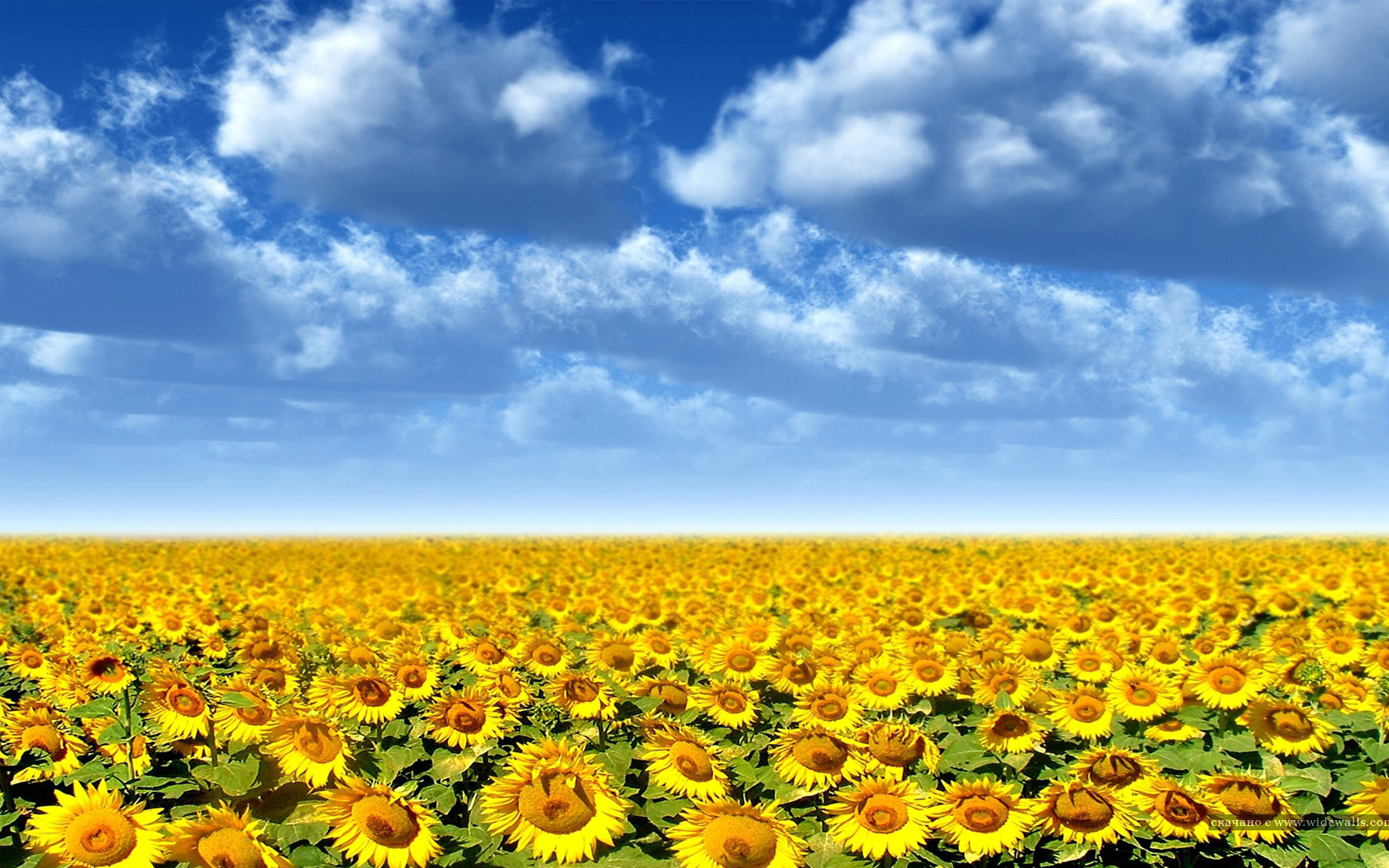 Sunflower Futures  by William Carney